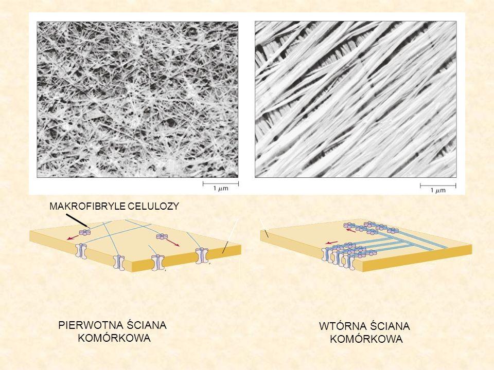 Modyfikacje ściany komórkowej Ściana komórkowa może ulegać modyfikacjom.