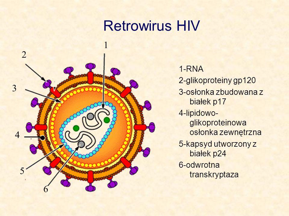 Retrowirus HIV 1-RNA 2-glikoproteiny gp120 3-osłonka zbudowana z białek p17 4-lipidowo- glikoproteinowa osłonka zewnętrzna 5-kapsyd utworzony z białek