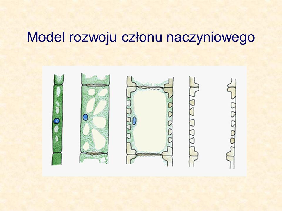 Model rozwoju członu naczyniowego