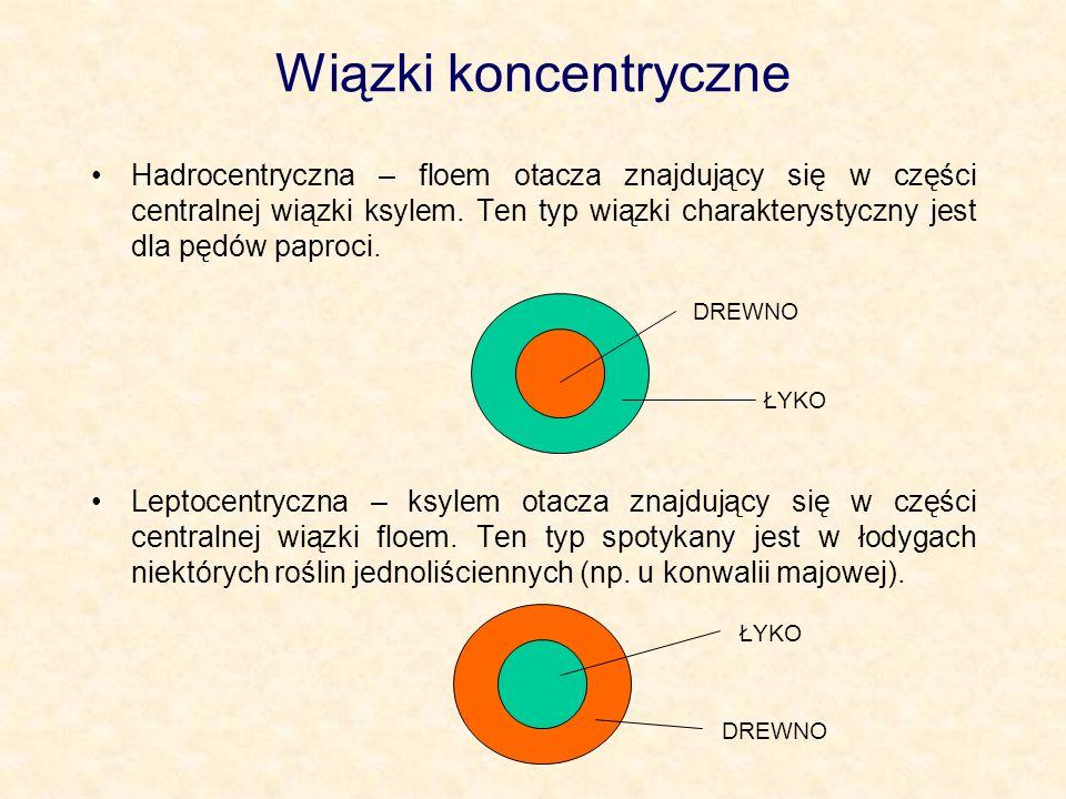 Wiązki koncentryczne Hadrocentryczna – floem otacza znajdujący się w części centralnej wiązki ksylem. Ten typ wiązki charakterystyczny jest dla pędów