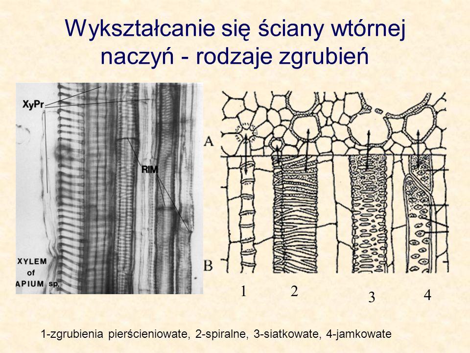 Wykształcanie się ściany wtórnej naczyń - rodzaje zgrubień 1-zgrubienia pierścieniowate, 2-spiralne, 3-siatkowate, 4-jamkowate 12 3 4