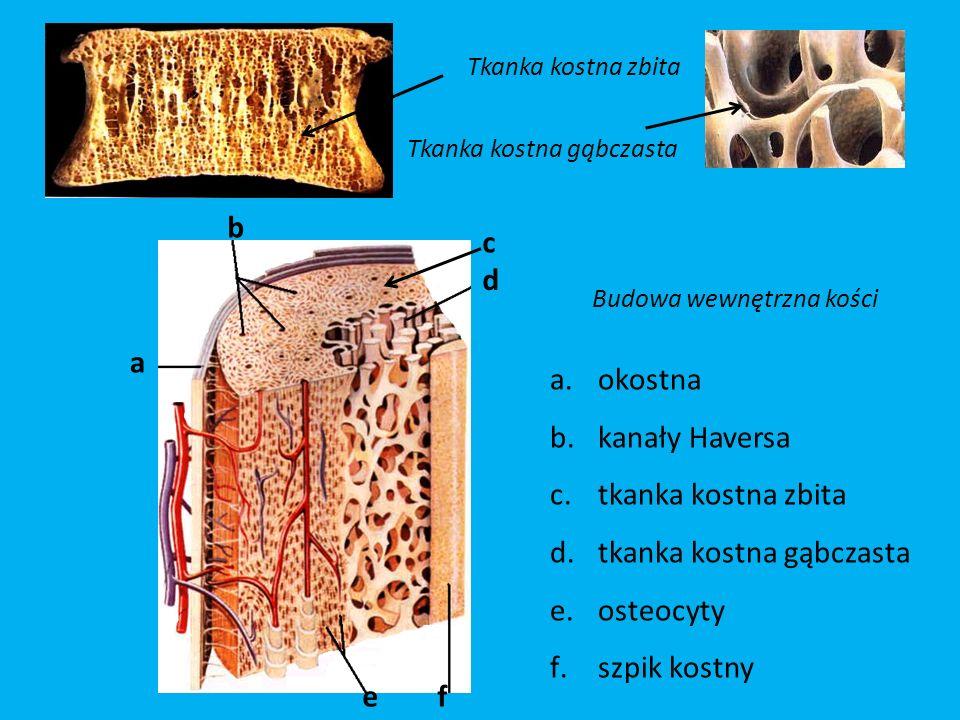 Tkanka kostna zbita Tkanka kostna gąbczasta a d b fe Budowa wewnętrzna kości a.okostna b.kanały Haversa c.tkanka kostna zbita d.tkanka kostna gąbczasta e.osteocyty f.szpik kostny c