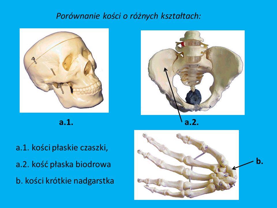 Porównanie kości o różnych kształtach: a.1.a.2.b.