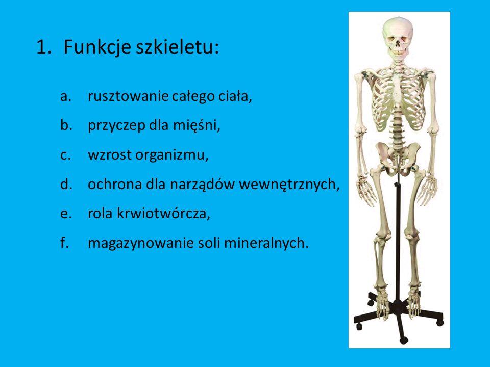 1.Funkcje szkieletu: a.rusztowanie całego ciała, b.przyczep dla mięśni, c.wzrost organizmu, d.ochrona dla narządów wewnętrznych, e.rola krwiotwórcza, f.magazynowanie soli mineralnych.