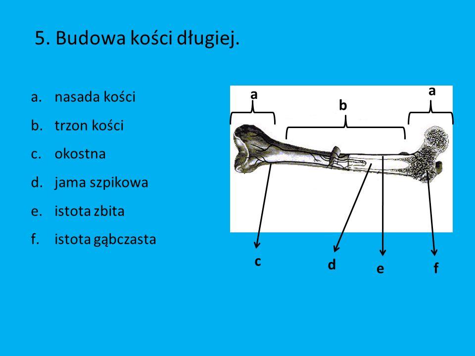5.Budowa kości długiej.
