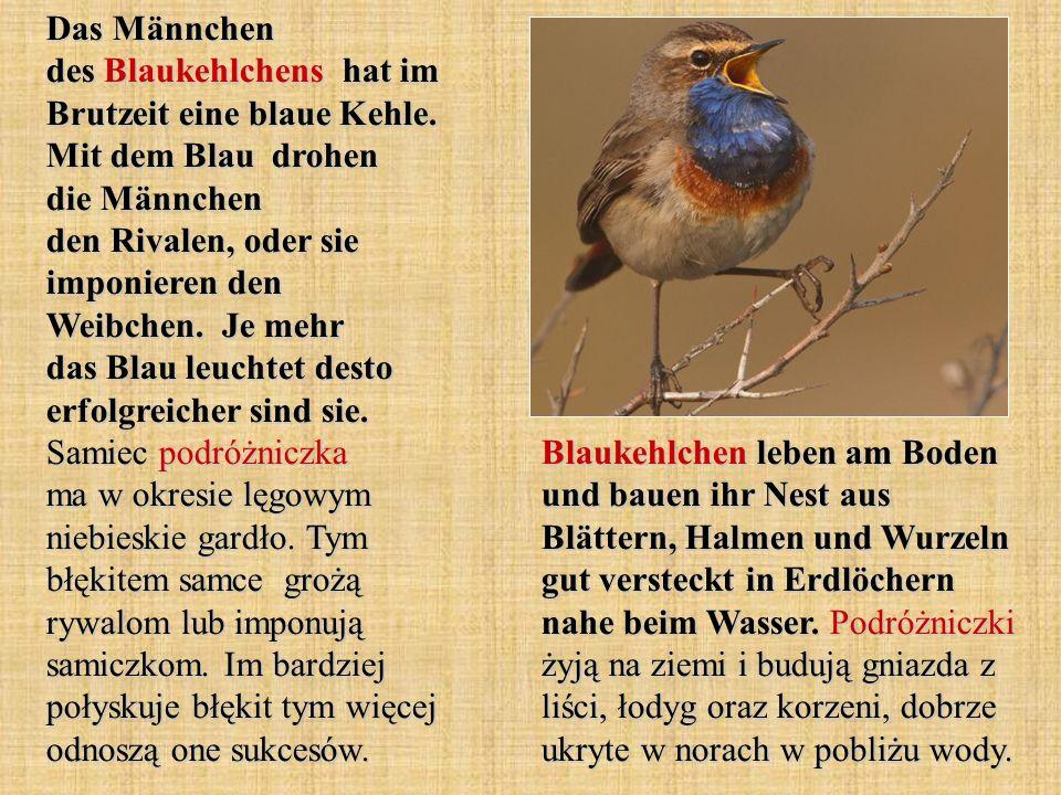 Der Pirol ist ein Charaktervogel der Auenwälder und gewässernaher Gehölze.