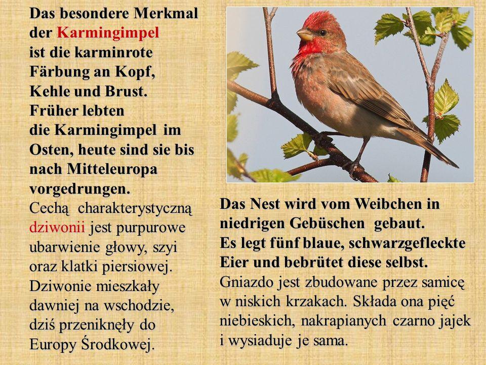 Der Birkenzeisig ist ein sehr kleiner Vogel.