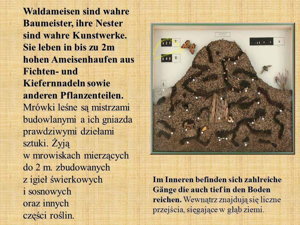 Waldameisen sind wahre Baumeister, ihre Nester sind wahre Kunstwerke. Sie leben in bis zu 2m hohen Ameisenhaufen aus Fichten- und Kiefernnadeln sowie