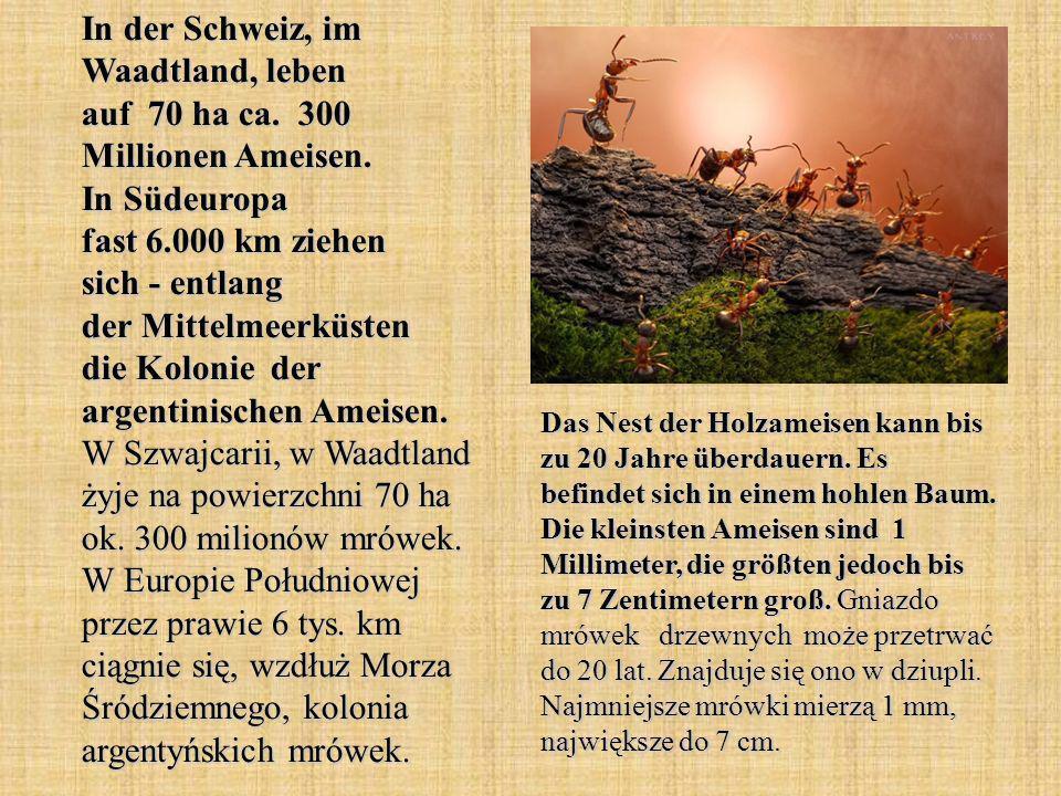 In der Schweiz, im Waadtland, leben auf 70 ha ca. 300 Millionen Ameisen. In Südeuropa fast 6.000 km ziehen sich - entlang der Mittelmeerküsten die Kol