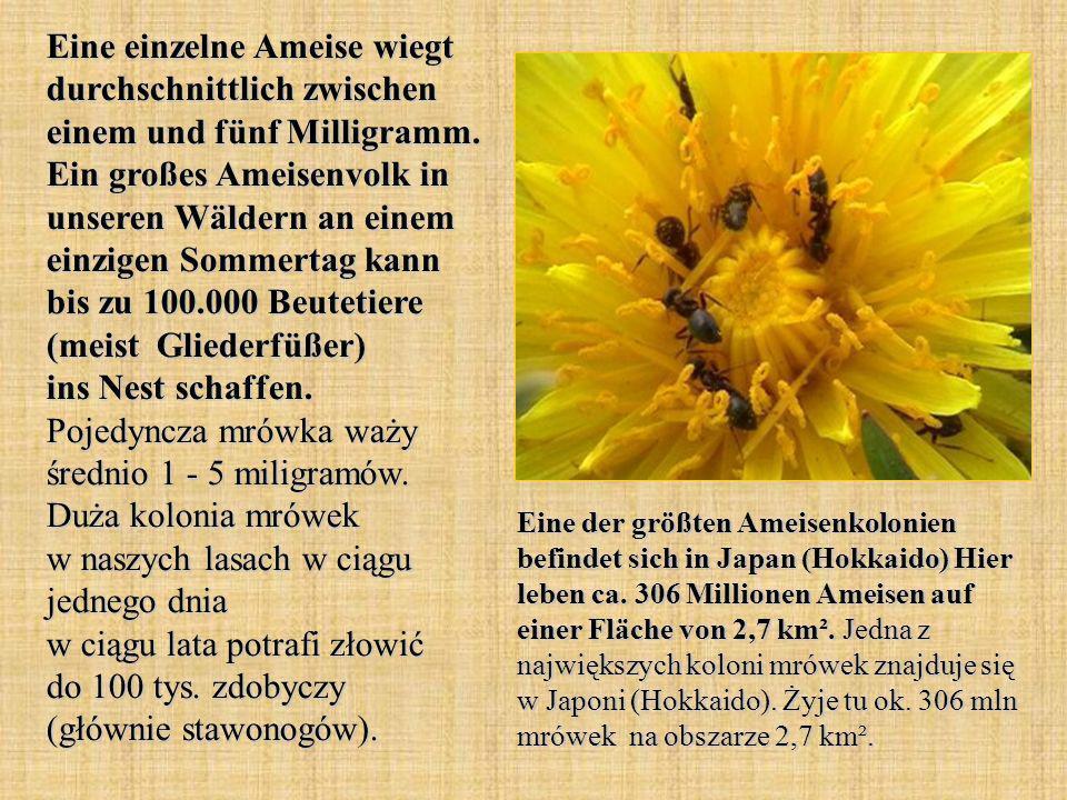 Eine einzelne Ameise wiegt durchschnittlich zwischen einem und fünf Milligramm. Ein großes Ameisenvolk in unseren Wäldern an einem einzigen Sommertag