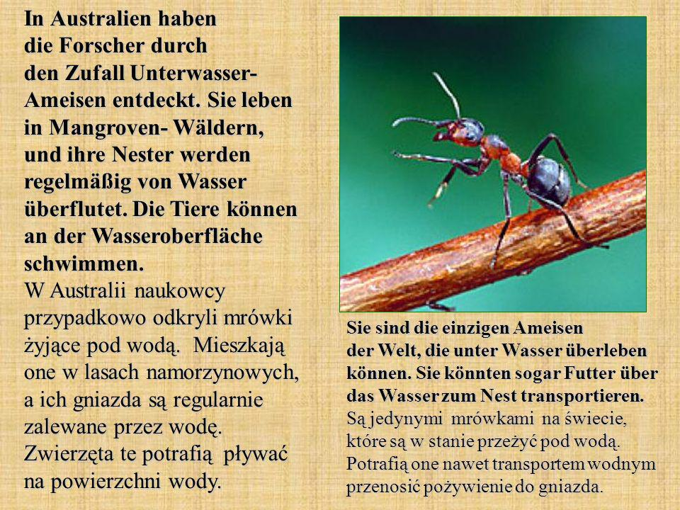 In Australien haben die Forscher durch den Zufall Unterwasser- Ameisen entdeckt. Sie leben in Mangroven- Wäldern, und ihre Nester werden regelmäßig vo