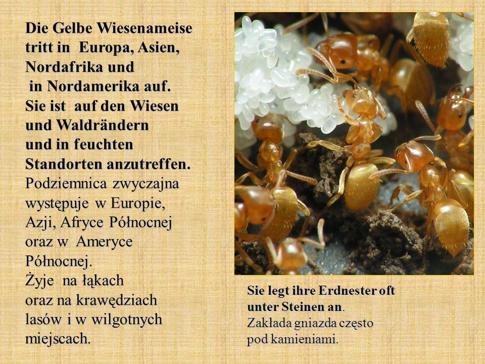Die Gelbe Wiesenameise tritt in Europa, Asien, Nordafrika und in Nordamerika auf. Sie ist auf den Wiesen und Waldrändern und in feuchten Standorten an