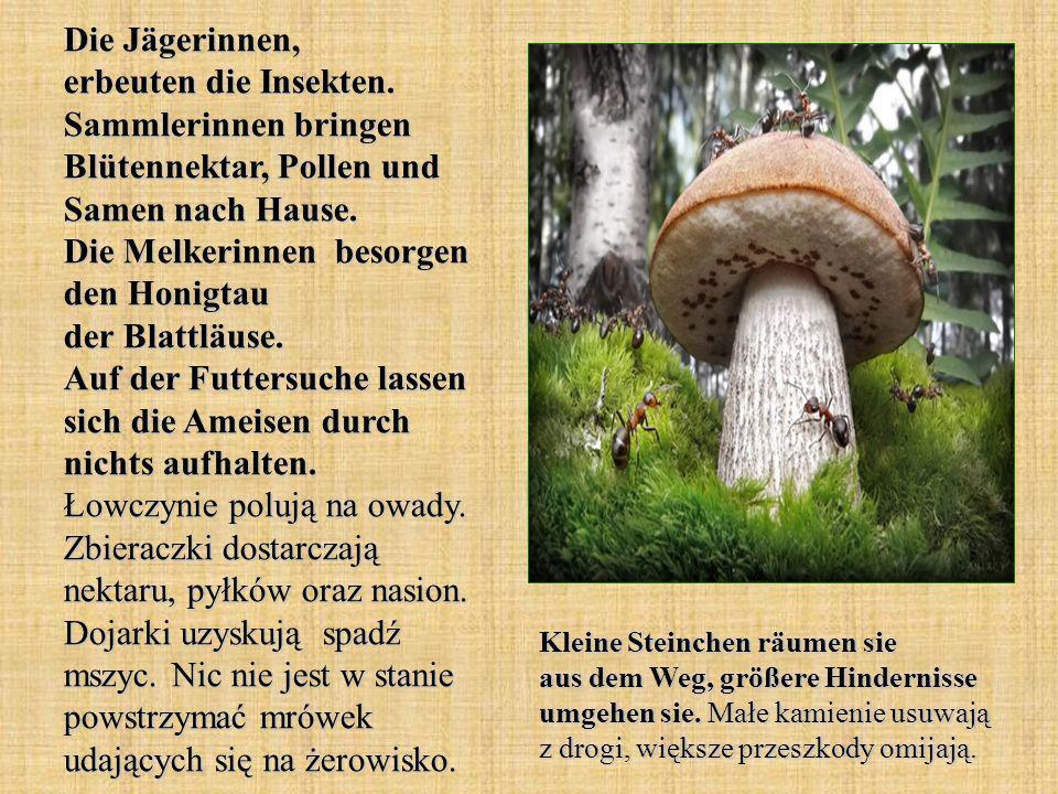 Die Jägerinnen, erbeuten die Insekten. Sammlerinnen bringen Blütennektar, Pollen und Samen nach Hause. Die Melkerinnen besorgen den Honigtau der Blatt