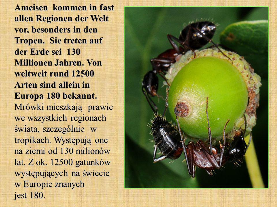 Ameisen kommen in fast allen Regionen der Welt vor, besonders in den Tropen. Sie treten auf der Erde sei 130 Millionen Jahren. Von weltweit rund 12500