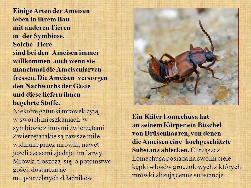 Einige Arten der Ameisen leben in ihrem Bau mit anderen Tieren in der Symbiose. Solche Tiere sind bei den Ameisen immer willkommen auch wenn sie manch