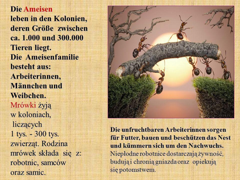 Die Ameisen leben in den Kolonien, deren Größe zwischen ca. 1.000 und 300.000 Tieren liegt. Die Ameisenfamilie besteht aus: Arbeiterinnen, Männchen un