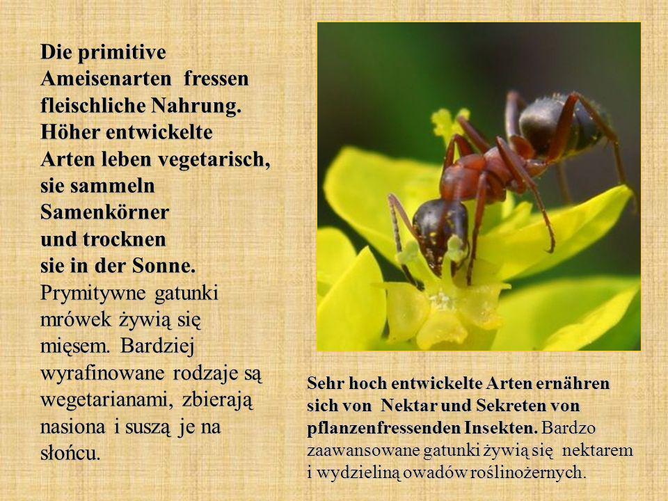 Die primitive Ameisenarten fressen fleischliche Nahrung. Höher entwickelte Arten leben vegetarisch, sie sammeln Samenkörner und trocknen sie in der So