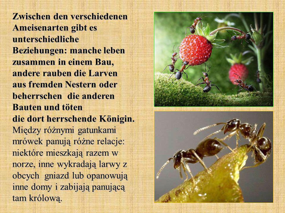 Zwischen den verschiedenen Ameisenarten gibt es unterschiedliche Beziehungen: manche leben zusammen in einem Bau, andere rauben die Larven aus fremden