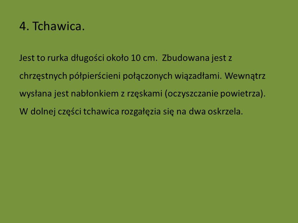 4.Tchawica. Jest to rurka długości około 10 cm.