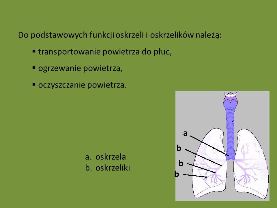 b b a b a.oskrzela b.oskrzeliki Do podstawowych funkcji oskrzeli i oskrzelików należą: transportowanie powietrza do płuc, ogrzewanie powietrza, oczyszczanie powietrza.