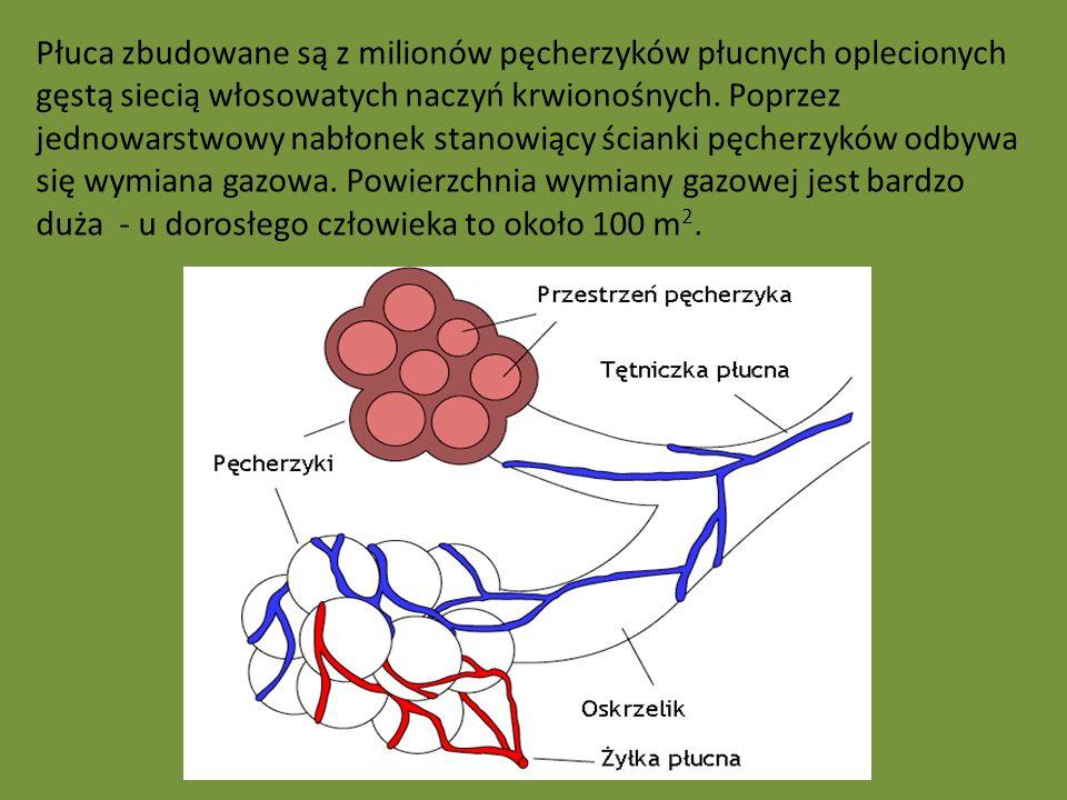 Płuca zbudowane są z milionów pęcherzyków płucnych oplecionych gęstą siecią włosowatych naczyń krwionośnych. Poprzez jednowarstwowy nabłonek stanowiąc