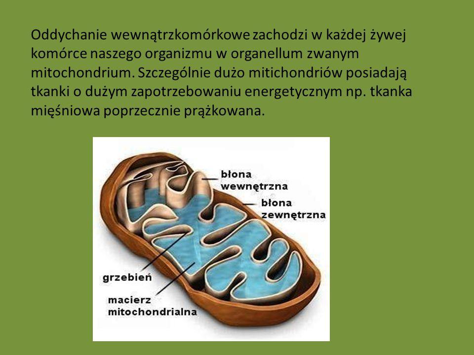 Oddychanie wewnątrzkomórkowe zachodzi w każdej żywej komórce naszego organizmu w organellum zwanym mitochondrium. Szczególnie dużo mitichondriów posia