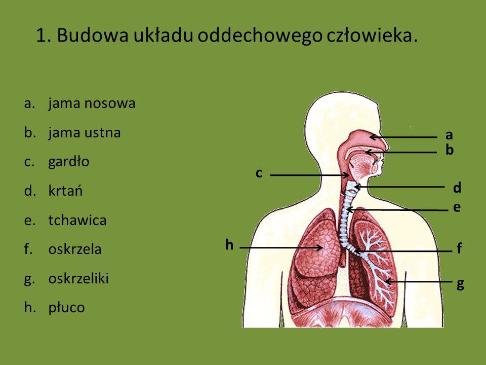 1. Budowa układu oddechowego człowieka. a.jama nosowa b.jama ustna c.gardło d.krtań e.tchawica f.oskrzela g.oskrzeliki h.płuco a d e f b c h g