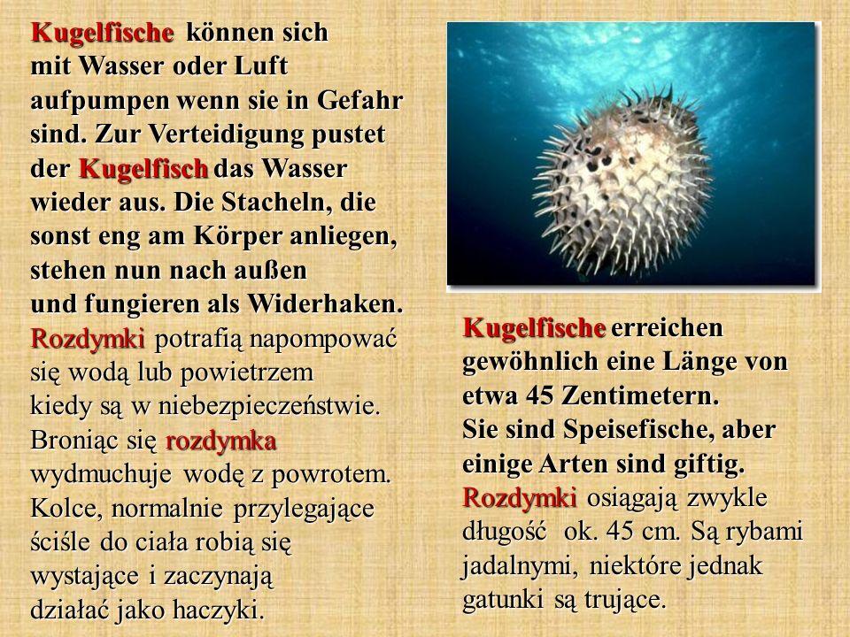Kugelfische können sich mit Wasser oder Luft aufpumpen wenn sie in Gefahr sind. Zur Verteidigung pustet der Kugelfisch das Wasser wieder aus. Die Stac