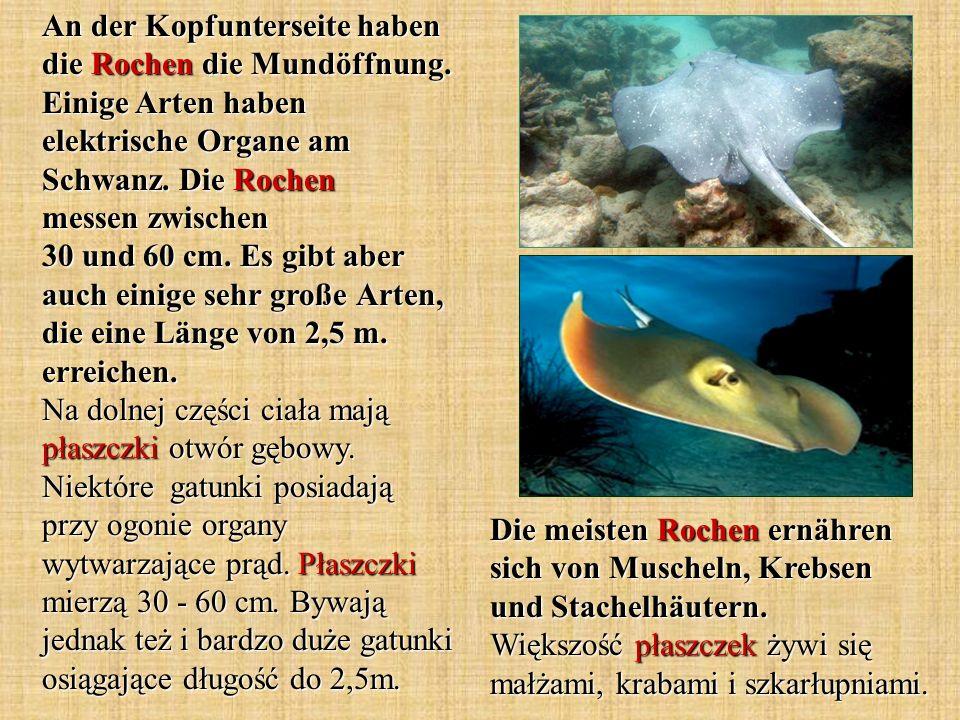 Die meisten Rochen ernähren sich von Muscheln, Krebsen und Stachelhäutern. Większość płaszczek żywi się małżami, krabami i szkarłupniami. An der Kopfu