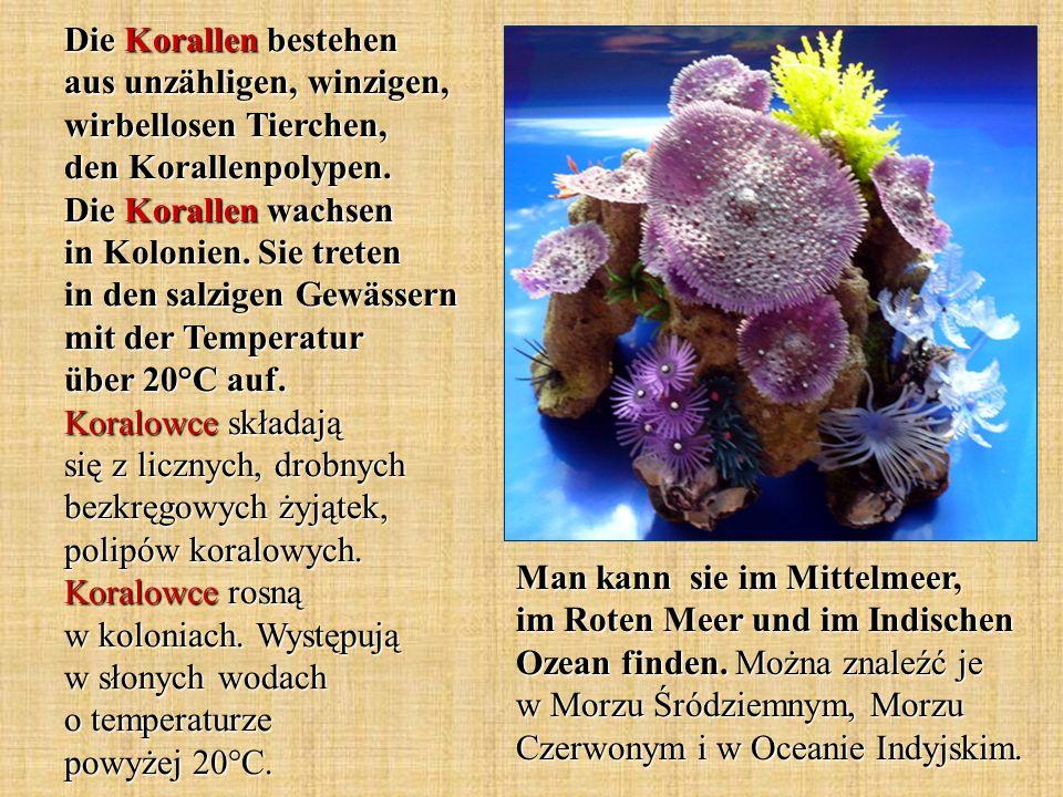 Die Korallen bestehen aus unzähligen, winzigen, wirbellosen Tierchen, den Korallenpolypen. Die Korallen wachsen in Kolonien. Sie treten in den salzige