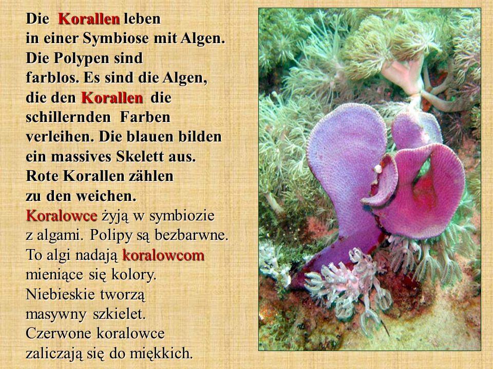 Die Korallen leben in einer Symbiose mit Algen. Die Polypen sind farblos. Es sind die Algen, die den Korallen die schillernden Farben verleihen. Die b