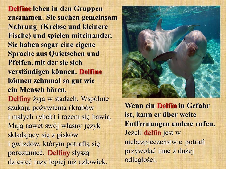 Delfine leben in den Gruppen zusammen. Sie suchen gemeinsam Nahrung (Krebse und kleinere Fische) und spielen miteinander. Sie haben sogar eine eigene