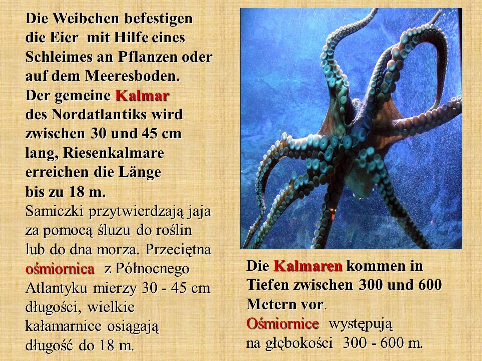 Die Weibchen befestigen die Eier mit Hilfe eines Schleimes an Pflanzen oder auf dem Meeresboden. Der gemeine Kalmar des Nordatlantiks wird zwischen 30
