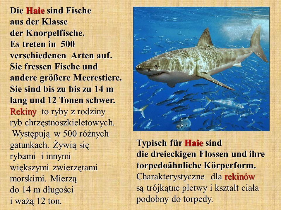 Typisch für Haie sind die dreieckigen Flossen und ihre torpedoähnliche Körperform. Charakterystyczne dla rekinów są trójkątne płetwy i kształt ciała p