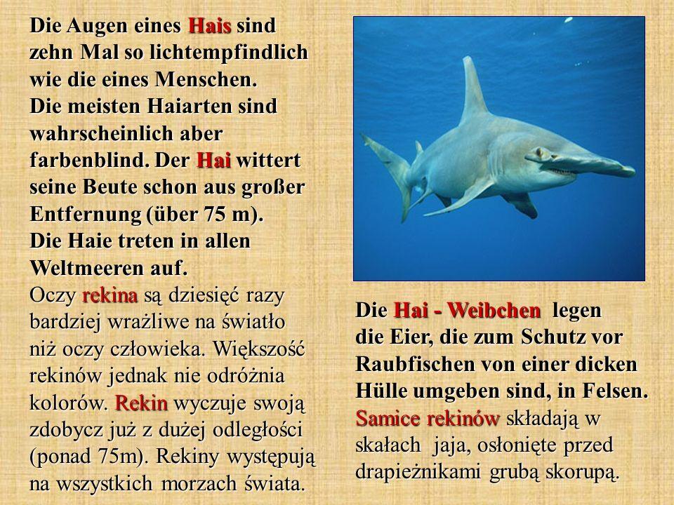 Die Hai - Weibchen legen die Eier, die zum Schutz vor Raubfischen von einer dicken Hülle umgeben sind, in Felsen. Samice rekinów składają w skałach ja