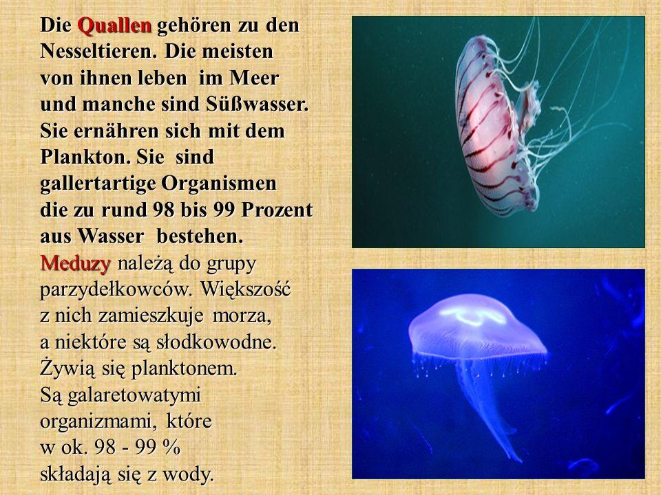 Die Quallen gehören zu den Nesseltieren. Die meisten von ihnen leben im Meer und manche sind Süßwasser. Sie ernähren sich mit dem Plankton. Sie sind g
