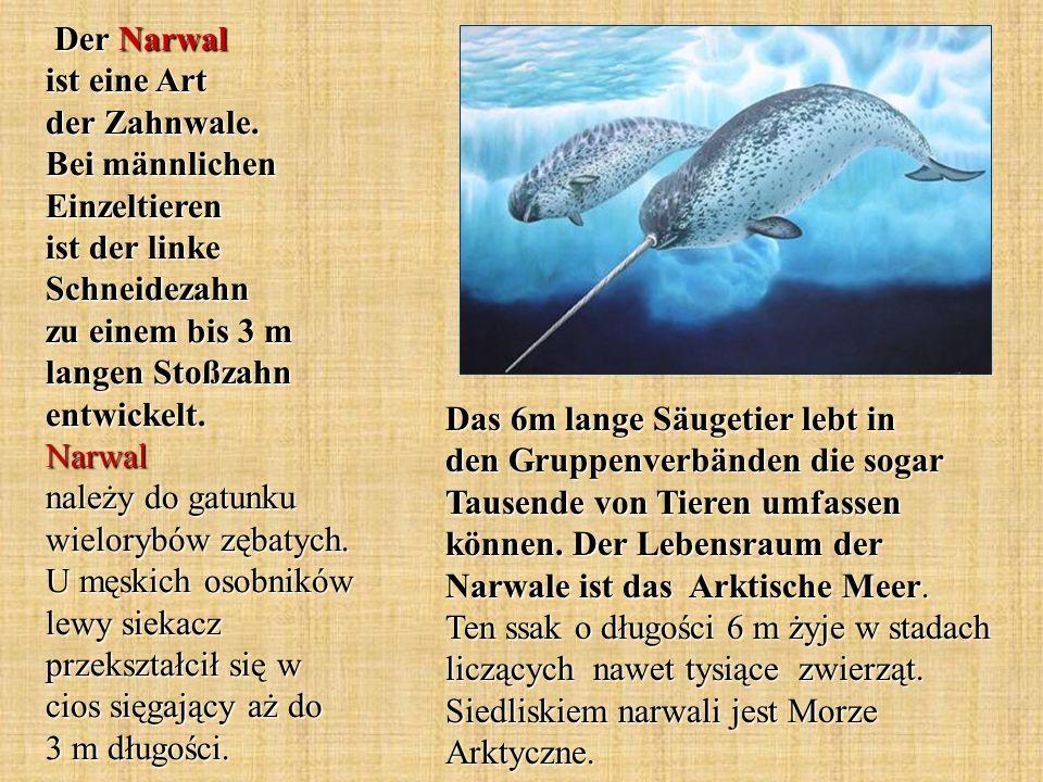 Der Narwal ist eine Art der Zahnwale. Bei männlichen Einzeltieren ist der linke Schneidezahn zu einem bis 3 m langen Stoßzahn entwickelt. Narwal należ