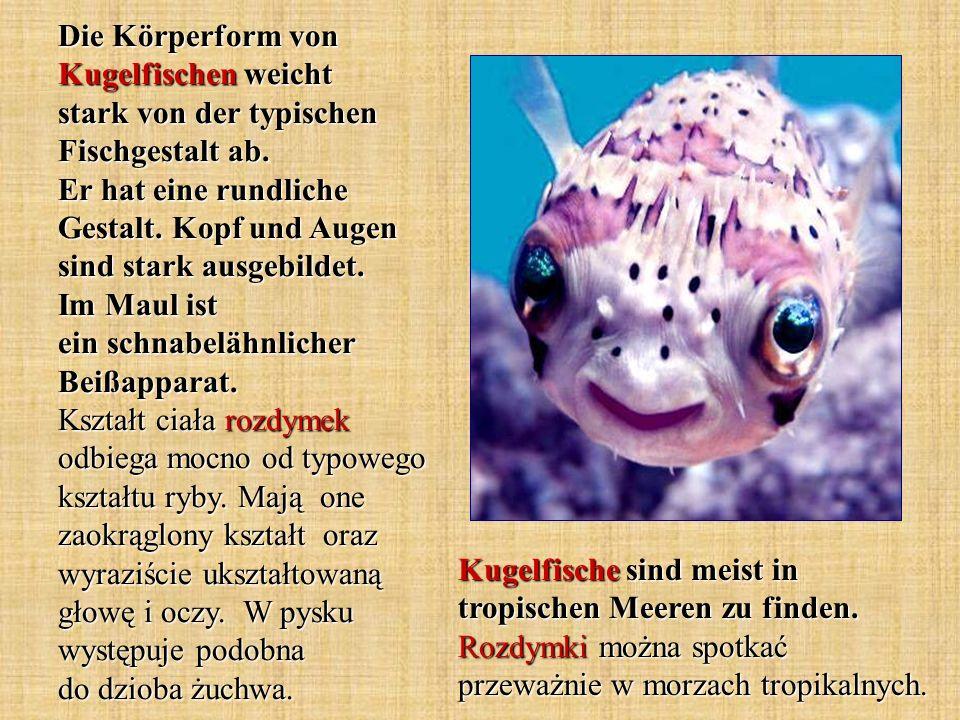 Die Körperform von Kugelfischen weicht stark von der typischen Fischgestalt ab. Er hat eine rundliche Gestalt. Kopf und Augen sind stark ausgebildet.