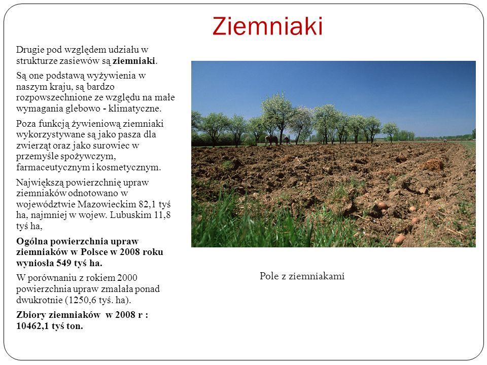 Ziemniaki Drugie pod względem udziału w strukturze zasiewów są ziemniaki. Są one podstawą wyżywienia w naszym kraju, są bardzo rozpowszechnione ze wzg