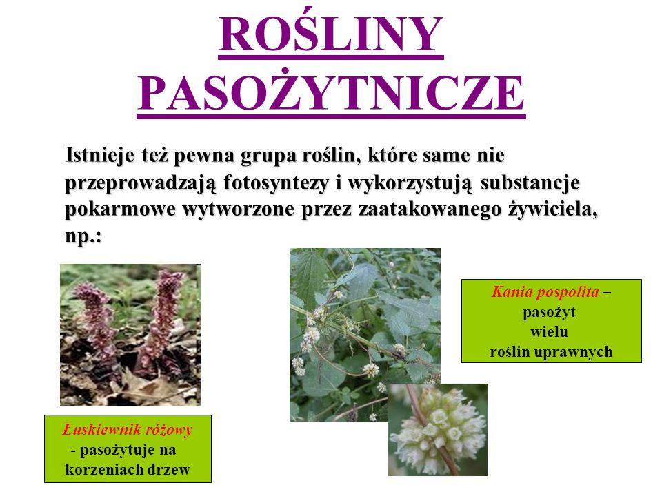 ROŚLINY PASOŻYTNICZE Istnieje też pewna grupa roślin, które same nie przeprowadzają fotosyntezy i wykorzystują substancje pokarmowe wytworzone przez zaatakowanego żywiciela, np.: Istnieje też pewna grupa roślin, które same nie przeprowadzają fotosyntezy i wykorzystują substancje pokarmowe wytworzone przez zaatakowanego żywiciela, np.: Łuskiewnik różowy - pasożytuje na korzeniach drzew Kania pospolita – pasożyt wielu roślin uprawnych