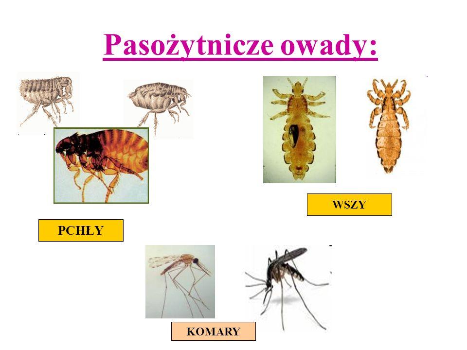 Pasożytnicze owady: PCHŁY WSZY KOMARY