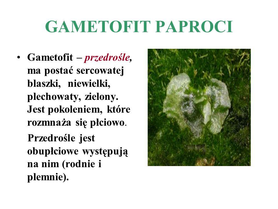 GAMETOFIT PAPROCI Gametofit – przedrośle, ma postać sercowatej blaszki, niewielki, plechowaty, zielony. Jest pokoleniem, które rozmnaża się płciowo. P