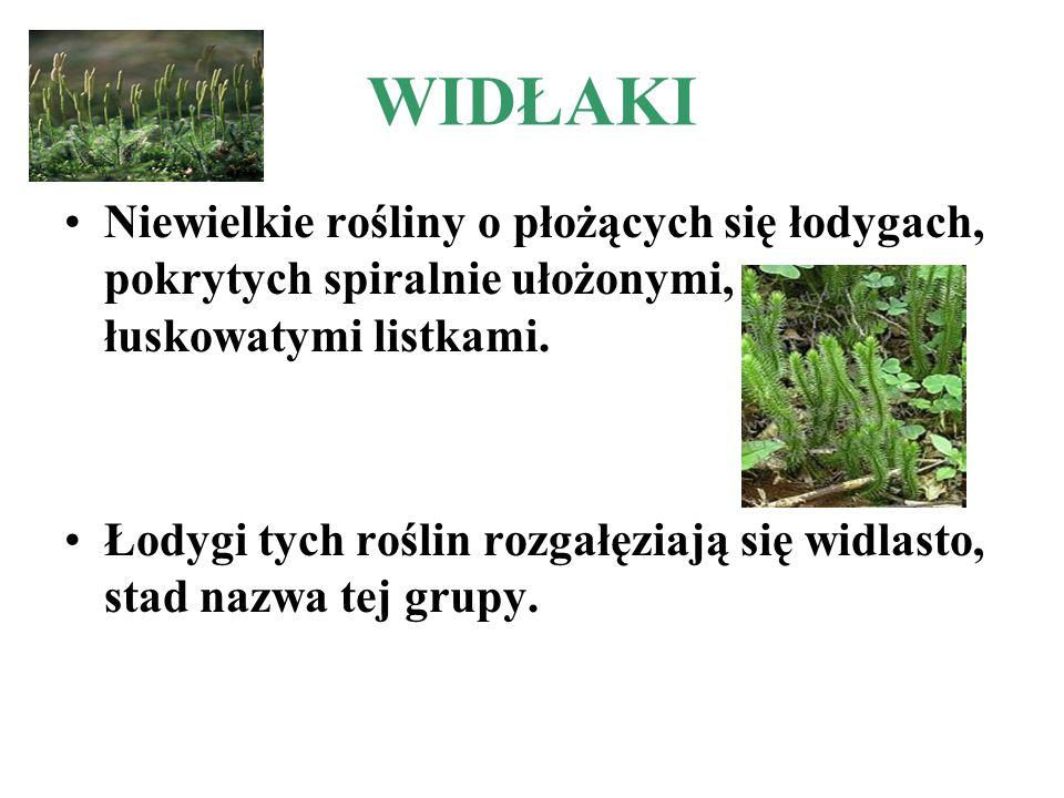 WIDŁAKI Niewielkie rośliny o płożących się łodygach, pokrytych spiralnie ułożonymi, łuskowatymi listkami. Łodygi tych roślin rozgałęziają się widlasto