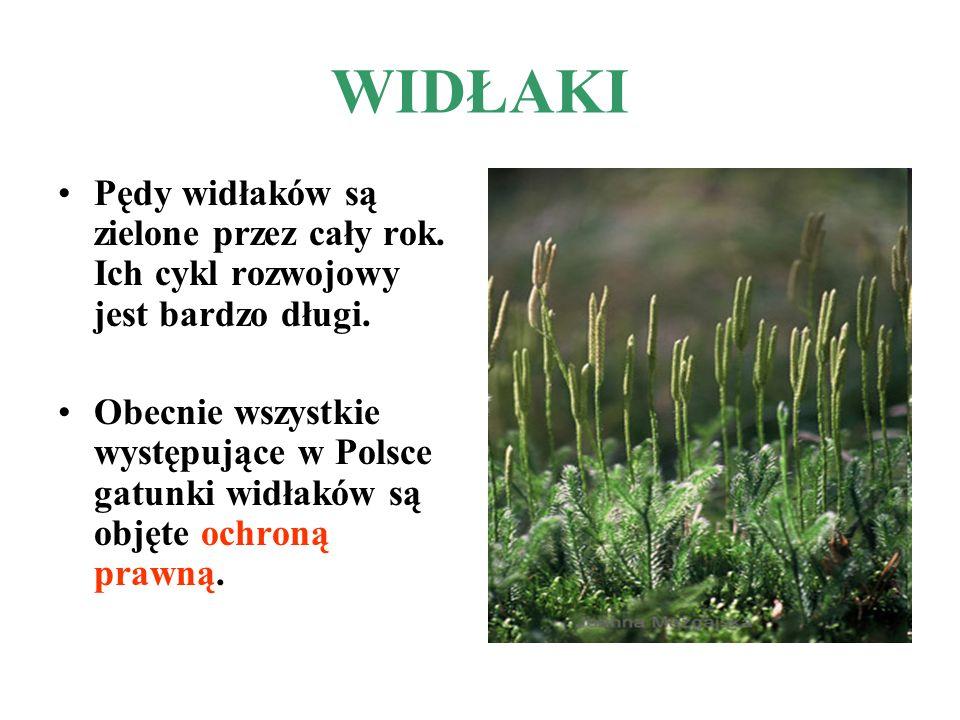 WIDŁAKI Pędy widłaków są zielone przez cały rok. Ich cykl rozwojowy jest bardzo długi. Obecnie wszystkie występujące w Polsce gatunki widłaków są obję