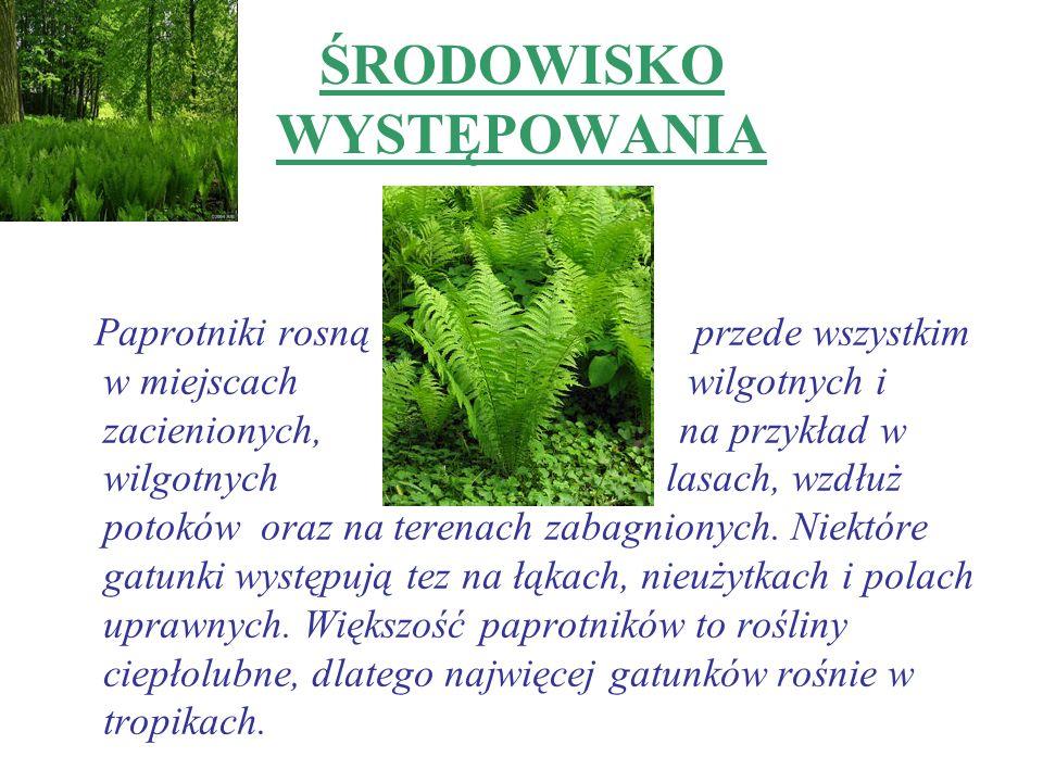 ŚRODOWISKO WYSTĘPOWANIA Paprotniki rosną przede wszystkim w miejscach wilgotnych i zacienionych, na przykład w wilgotnych lasach, wzdłuż potoków oraz