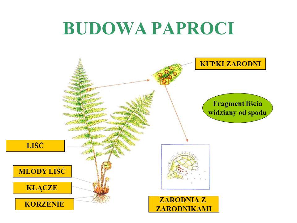 BUDOWA PAPROCI LIŚCIE - składają się z mniejszych listków; -na spodniej stronie liścia rozwijają się zarodnie; -liść paproci ustawia się w kierunku światła, sprzyja to procesowi fotosyntezy i ułatwia zbieranie wody z opadów, która spływa po liściach w stronę korzeni.
