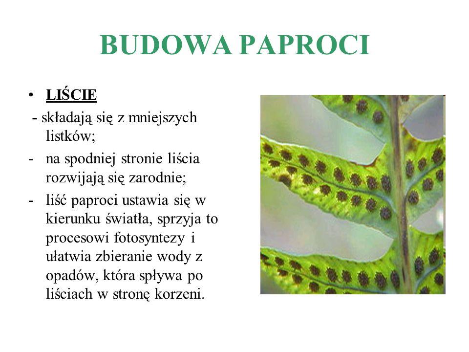 BUDOWA PAPROCI LIŚCIE - składają się z mniejszych listków; -na spodniej stronie liścia rozwijają się zarodnie; -liść paproci ustawia się w kierunku św