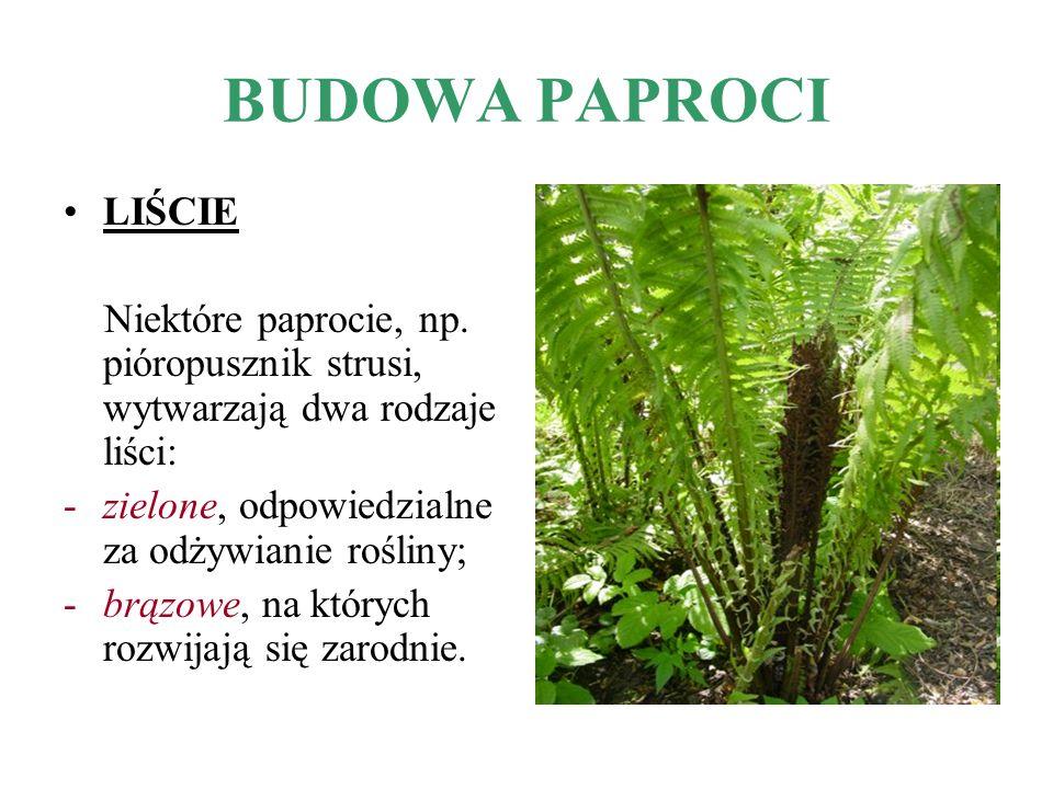 BUDOWA PAPROCI LIŚCIE Niektóre paprocie, np. pióropusznik strusi, wytwarzają dwa rodzaje liści: -zielone, odpowiedzialne za odżywianie rośliny; -brązo