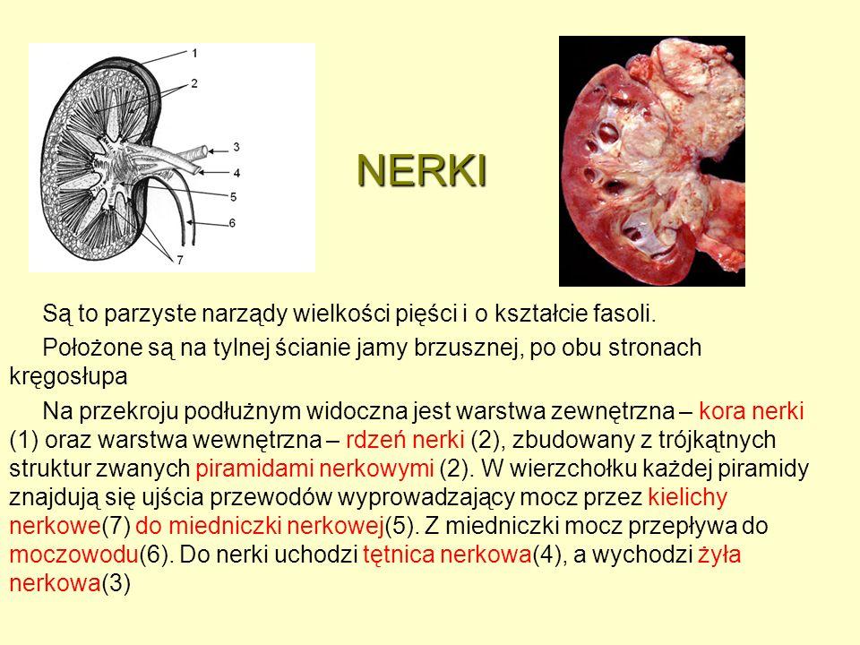 NERKI NERKI Są to parzyste narządy wielkości pięści i o kształcie fasoli. Położone są na tylnej ścianie jamy brzusznej, po obu stronach kręgosłupa Na