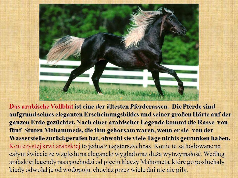 Das arabische Vollblut ist eine der ältesten Pferderassen.